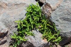 Planta verde e a superfície de uma rocha velha Imagens de Stock Royalty Free