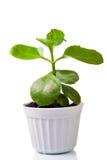 Planta verde em um potenciômetro foto de stock royalty free