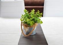 Planta verde em um potenciômetro da lata na tabela de madeira na luz solar Foto de Stock