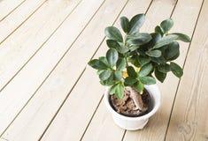 Planta verde em um potenciômetro de argila Fotografia de Stock Royalty Free
