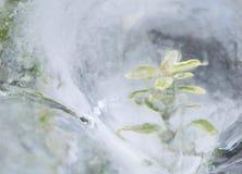 Planta verde en hielo Imágenes de archivo libres de regalías