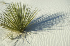 Planta verde en la duna de arena blanca Fotografía de archivo