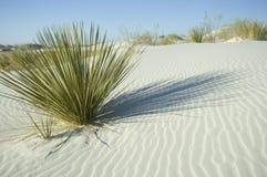 Planta verde en la duna de arena blanca Fotografía de archivo libre de regalías