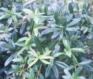 Planta verde en las espinas, una hierba interesante Fotografía de archivo libre de regalías