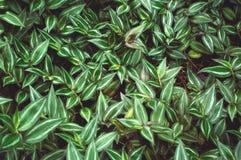 Planta verde enorme del judío que vaga Fotografía de archivo