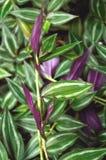 Planta verde enorme del judío que vaga Imágenes de archivo libres de regalías