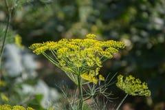 Planta verde floreciente de las hierbas del eneldo en graveolens del Anethum del jardín Primer de las flores de hinojo el tiempo  Imágenes de archivo libres de regalías