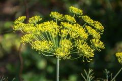 Planta verde floreciente de las hierbas del eneldo en graveolens del Anethum del jardín Primer de las flores de hinojo el tiempo  Foto de archivo libre de regalías