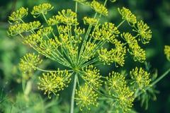 Planta verde floreciente de las hierbas del eneldo en graveolens del Anethum del jardín Primer de las flores de hinojo el tiempo  Imagen de archivo libre de regalías