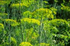 Planta verde floreciente de las hierbas del eneldo en graveolens del Anethum del jardín Primer de las flores de hinojo el tiempo  Fotos de archivo libres de regalías
