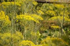 Planta verde floreciente de las hierbas del eneldo en graveolens del Anethum del jardín Primer de las flores de hinojo el tiempo  Fotos de archivo