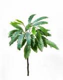 Planta verde fresca Fotos de Stock Royalty Free