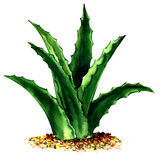 Planta verde fresca aislada, ejemplo de Vera del áloe de la acuarela en blanco stock de ilustración