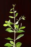 Planta verde fresca da hena, fotografia de stock royalty free