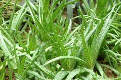 Planta verde fresca do aloés imagens de stock