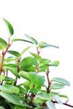 Planta verde isolada no branco Imagem de Stock Royalty Free