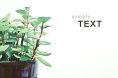Planta verde isolada no branco Imagem de Stock
