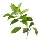 Planta verde isolada sobre o branco foto de stock royalty free