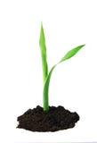 Planta verde joven Foto de archivo libre de regalías