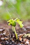 Planta verde joven con agua en ella que crece fuera de suelo marrón Imagen de archivo libre de regalías