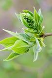Planta verde lanuda Foto de archivo libre de regalías