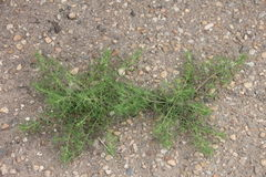 Planta verde, mala hierba que brota a través del asfalto Fotos de archivo libres de regalías
