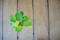 Planta verde no fundo de madeira Imagem de Stock