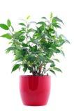 Planta verde no potenciômetro vermelho isolado no branco Imagens de Stock