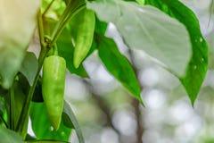 Planta verde nova do pimentão fotografia de stock
