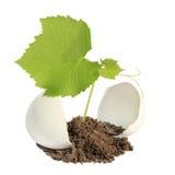 Planta verde nova em uma casca de ovo Imagem de Stock