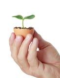 Planta verde nova em uma casca de ovo Fotografia de Stock Royalty Free