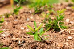 Planta verde nova que cresce na terra Imagem de Stock