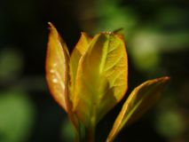 Planta verde o apenas crabapple como es calone de éstos para un estallido pródigo de blanco, rosado, o flores ornamental del rojo Imagen de archivo