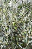 Planta verde-oliva Foto de Stock Royalty Free