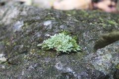 Planta verde pequena da floresta na rocha Fotografia de Stock Royalty Free