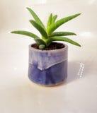 A planta verde pequena de vera do aloés em um azul vitrificou o potenciômetro de flor Fotografia de Stock Royalty Free