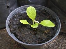 Planta verde pequena no potenciômetro plástico preto foto de stock