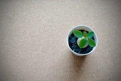 Planta verde pequena no potenciômetro no fundo da placa da cortiça Fotos de Stock