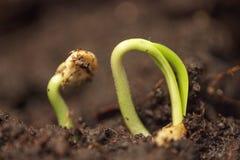 Planta verde pequena que cresce na terra que germina do processo da natureza do verão da primavera das sementes imagens de stock
