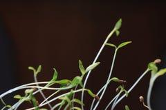 Planta verde pequena que cresce na terra que germina do processo da natureza do verão da primavera das sementes imagens de stock royalty free