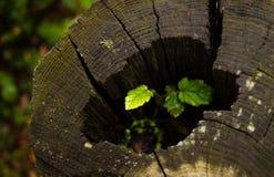 Planta verde que crece dentro de un tronco que corta de un árbol imagenes de archivo