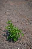 Planta verde que crece entre el suelo seco Imagen de archivo libre de regalías