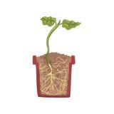 Planta verde que cresce em um potenciômetro com solo à terra, fase do crescimento, potenciômetro em uma ilustração de seção trans Fotografia de Stock