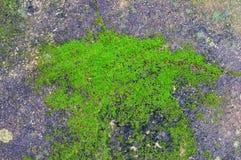 Planta verde que cresce fora do concreto do assoalho com sumário rachado Imagens de Stock