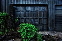 Planta verde vívida na frente da porta dilapidada da garagem Imagem de Stock Royalty Free