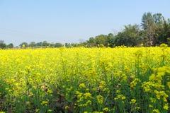 Planta verde y amarilla de la mostaza del color fotos de archivo libres de regalías