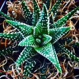 Planta verde y blanca del jade Imagenes de archivo