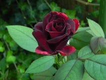 Planta vermelha Fotografia de Stock