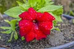 Planta vermelha bonita com flores vermelhas foto de stock royalty free