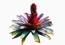 Planta vermelha bonita da bromeliácea isolada no fundo branco Foto de Stock